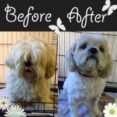 Ted the Shih-Tzu... what a transformation!